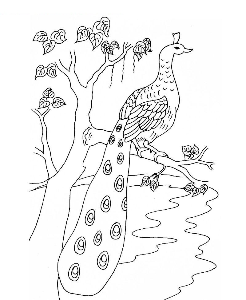 coloring outline image of peacock peacock coloring page get coloring pages image of peacock coloring outline