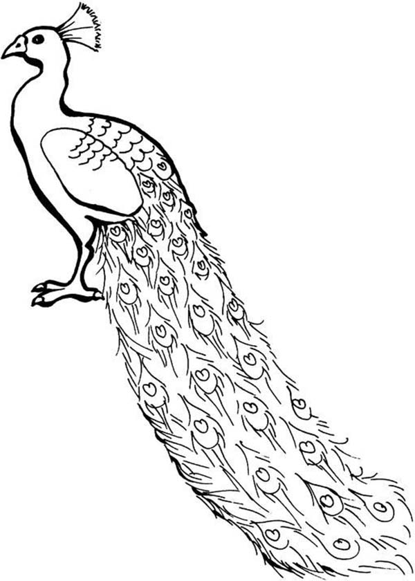 coloring outline image of peacock peacock drawing outline for glass painting at getdrawings peacock coloring outline image of