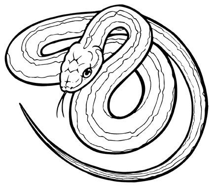 corn snake coloring page realistic snake drawing at getdrawings free download corn page coloring snake