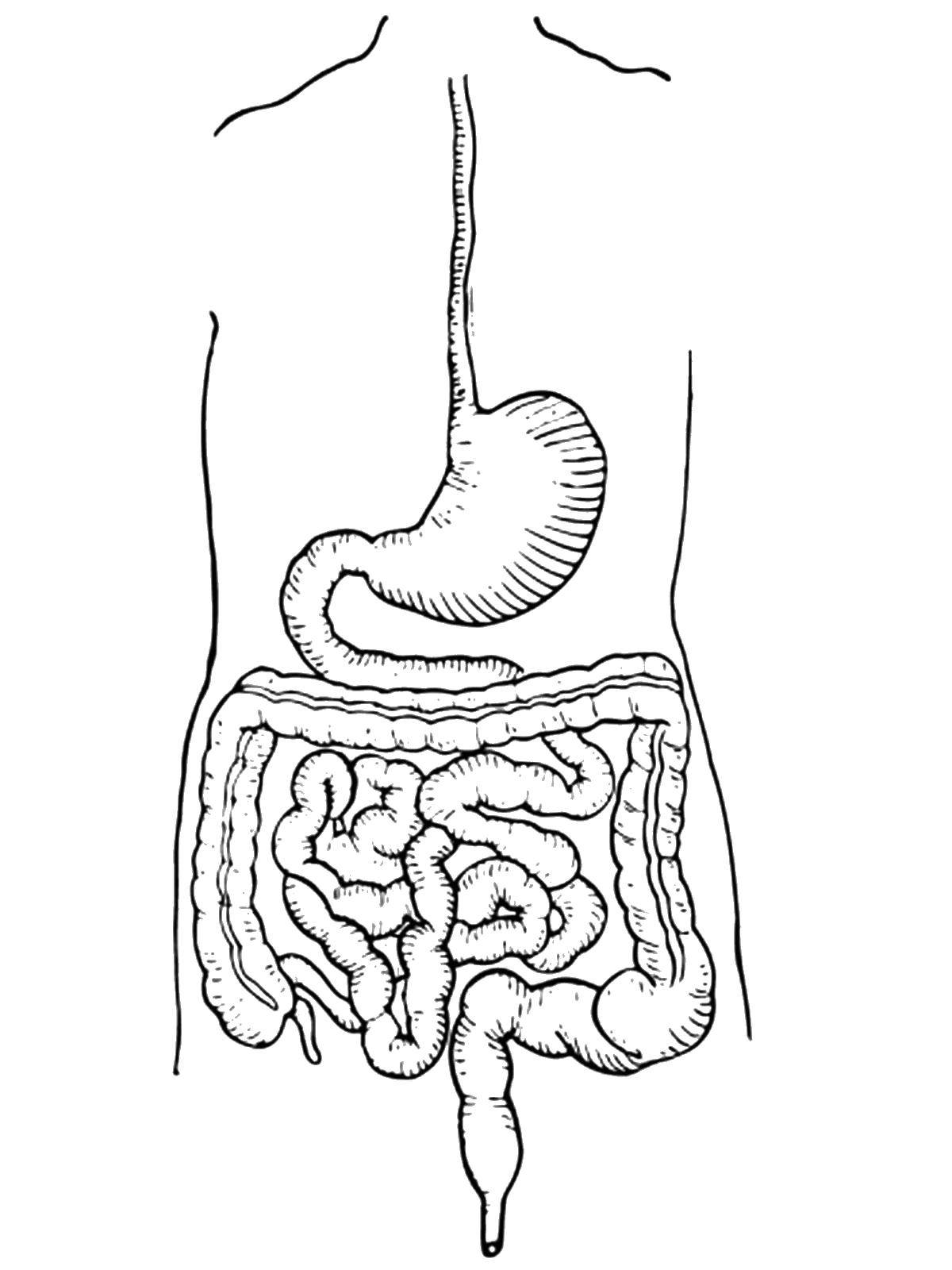 digestive system coloring pages components of digestive system worksheet coloring pages coloring digestive pages system