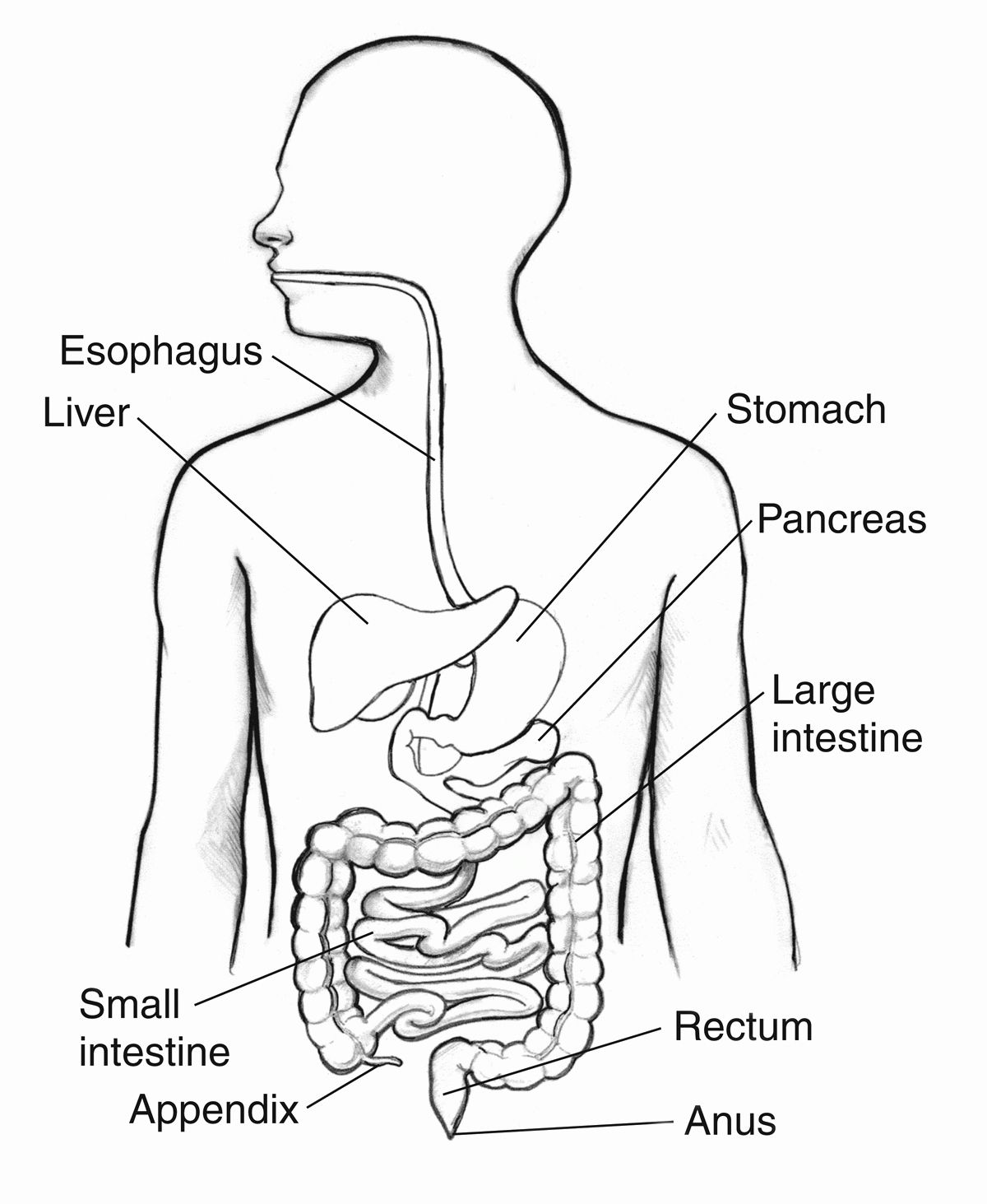 digestive system coloring pages digestive system coloring page coloring home system digestive pages coloring