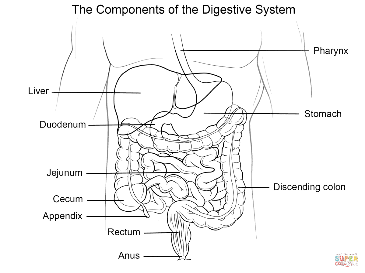 digestive system coloring pages digestive system coloring page pages coloring digestive system