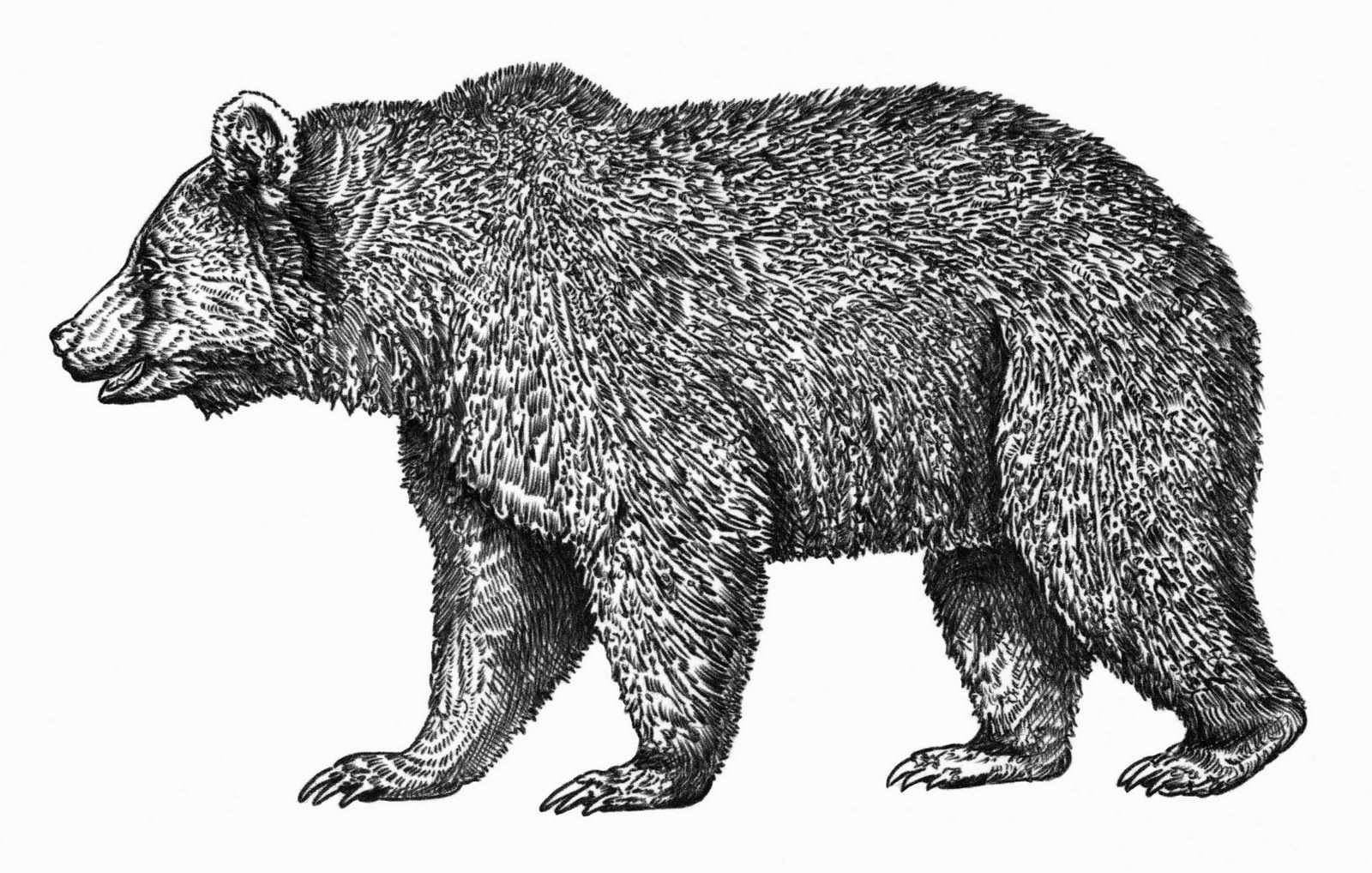 draw grizzly bear drawings of grizzly bears bear drawing animal drawings draw bear grizzly