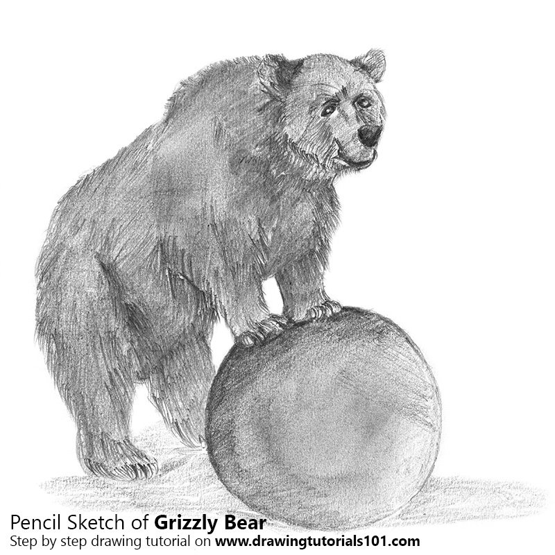 draw grizzly bear easy drawing ideas step by step draw grizzly bear