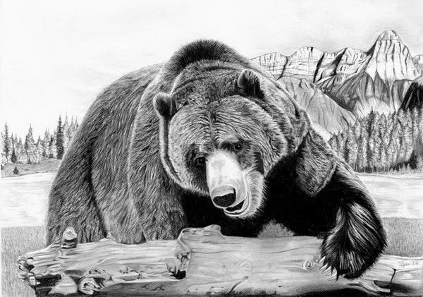 draw grizzly bear grizzly bear drawing by george bumann draw bear grizzly