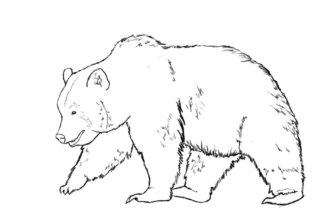 draw grizzly bear grizzly bear head sketch at paintingvalleycom explore bear grizzly draw