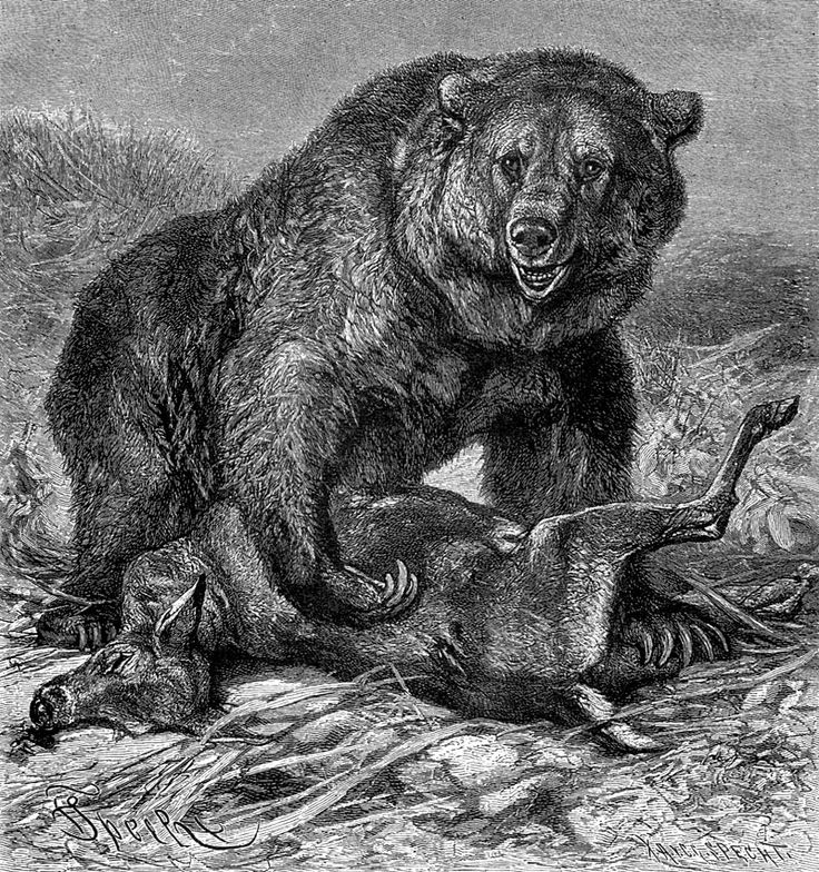 draw grizzly bear items similar to grizzly bear pencil drawing print on etsy draw bear grizzly