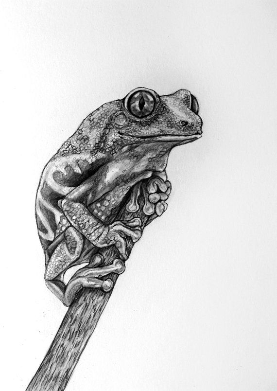 drawing frogs frog onlypencilcom wildlife pencil drawings by drawing frogs