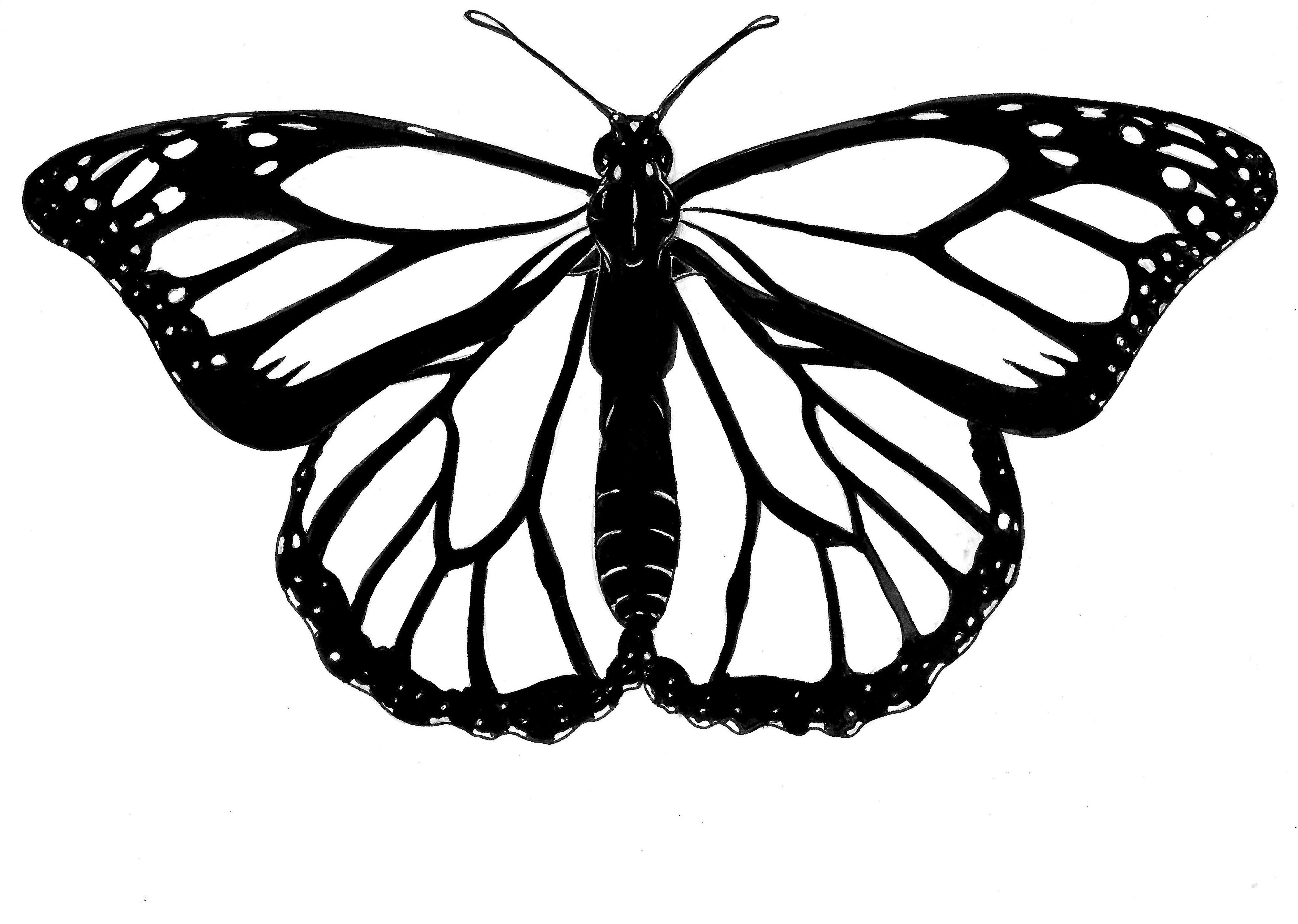 drawing monarch butterfly a vector illustration of a monarch butterfly in black and butterfly monarch drawing