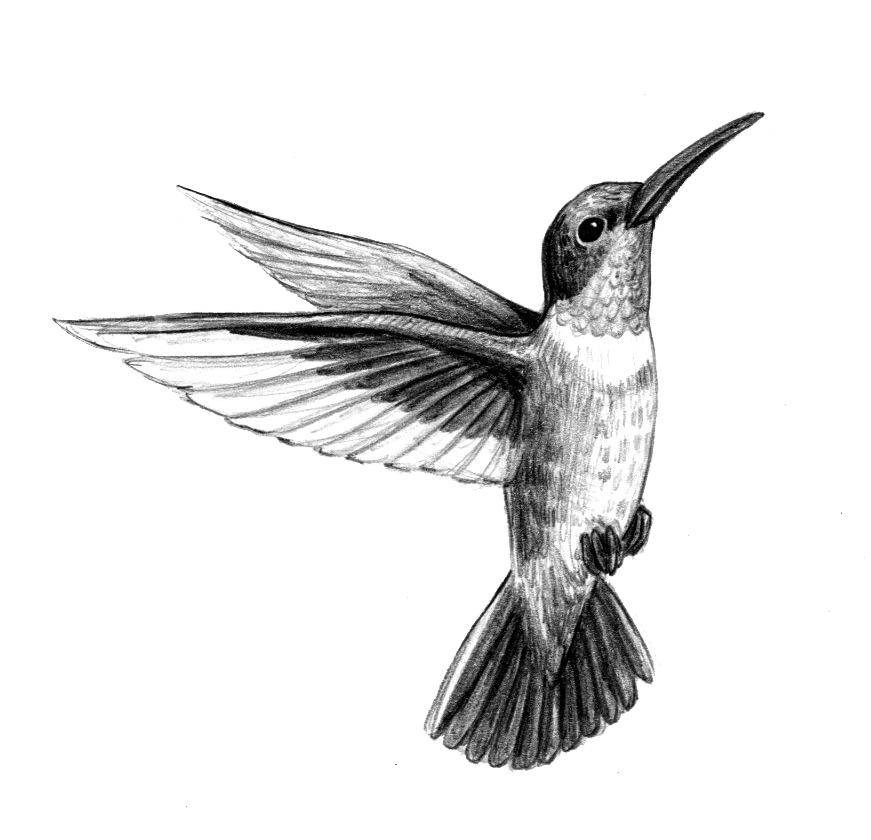 drawing of a hummingbird male ruby throated hummingbird w border drawing by of drawing a hummingbird