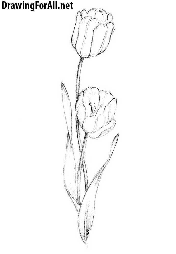 easy tulip drawing 20 flower drawings sketches design trends premium tulip easy drawing