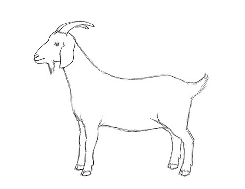 goat sketch brett helquist how to draw a grumpy goat part 2 goat sketch