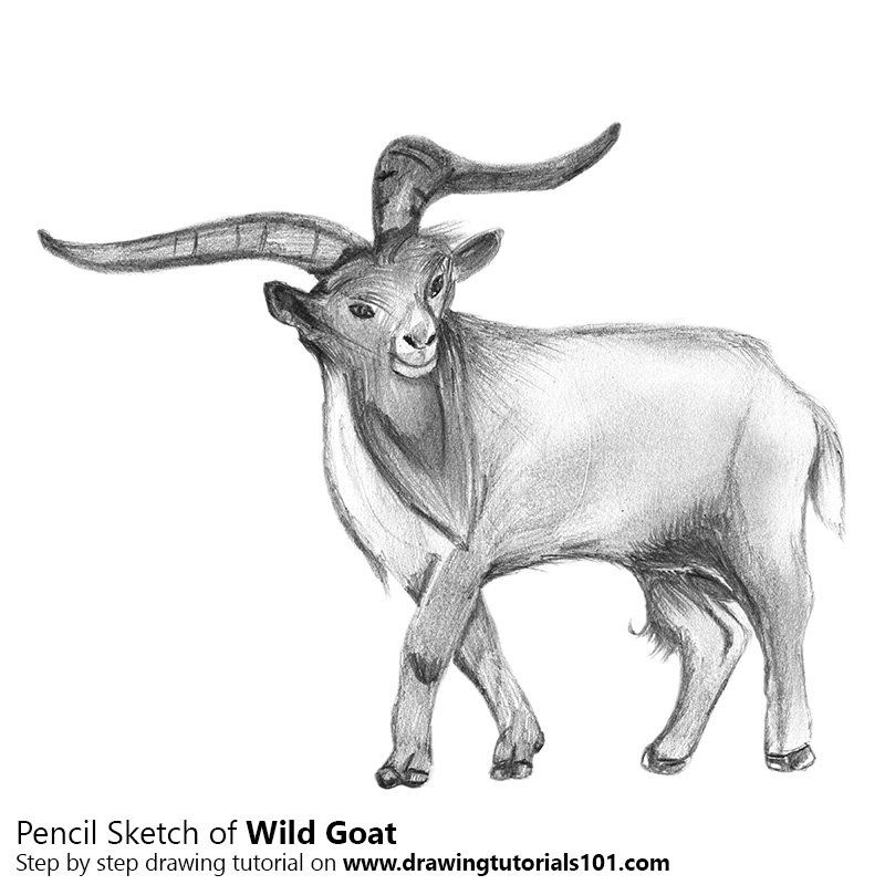 goat sketch goat drawing at getdrawings free download sketch goat