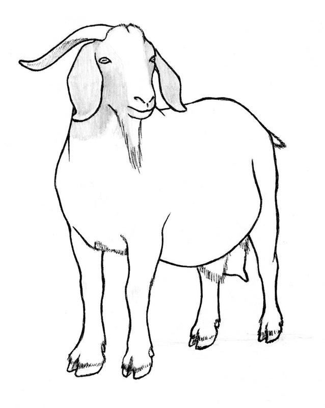 goat sketch goat pencil drawing print wildlife art a4 only signed sketch goat