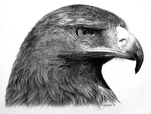 golden eagle drawing golden eagle drawings and illustrations eagle golden drawing