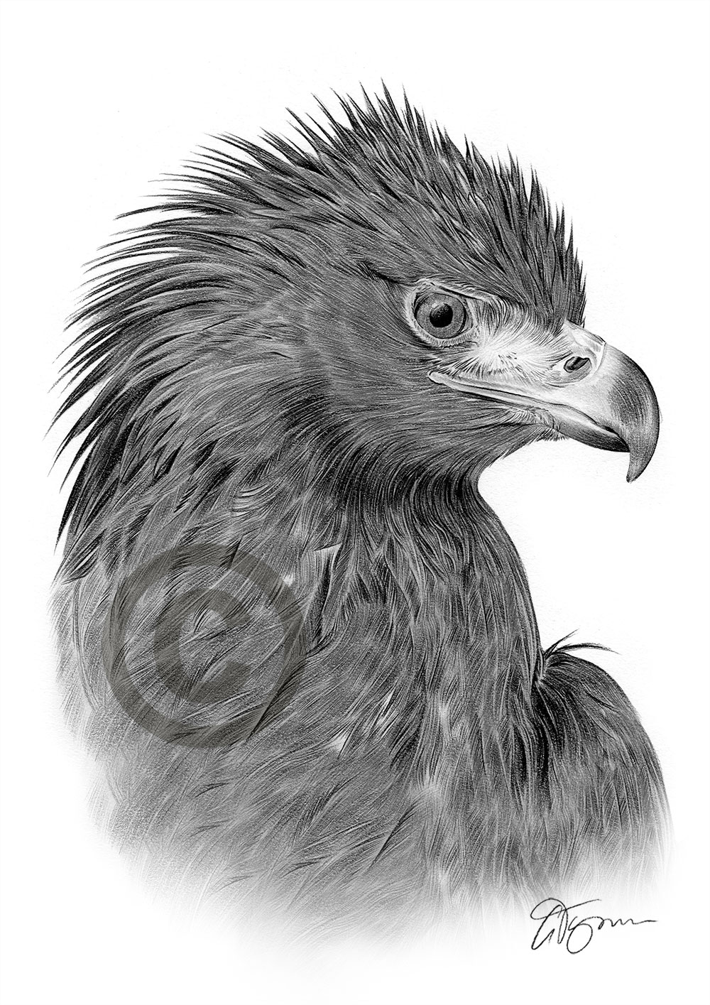 golden eagle drawing pencil drawing portrait of a golden eagle by uk artist eagle drawing golden
