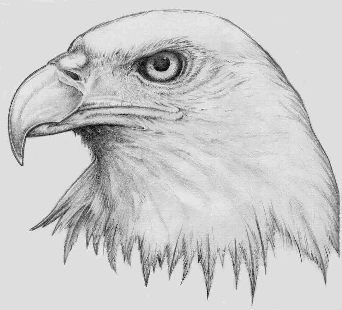golden eagle drawing rules of the jungle printable pictures of bald eagle golden drawing eagle