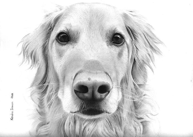 golden retriever drawing golden retriever charcoal drawing by rachael howatson retriever drawing golden