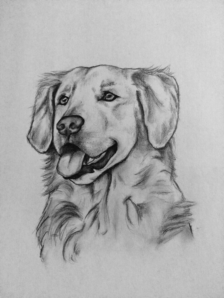 golden retriever drawing golden retriever drawing by timothy livingston golden drawing retriever