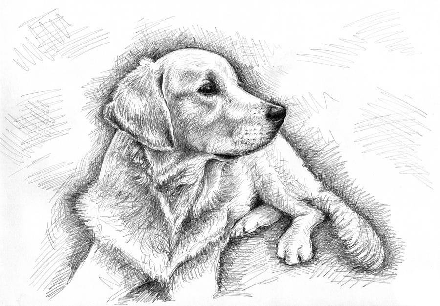 golden retriever drawing golden retriever drawing drawing retriever golden