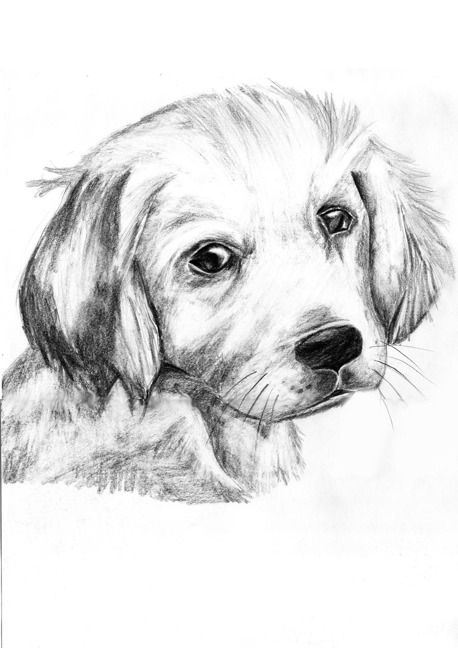 golden retriever drawing golden retriever jessie puppy drawing by kate sumners drawing golden retriever
