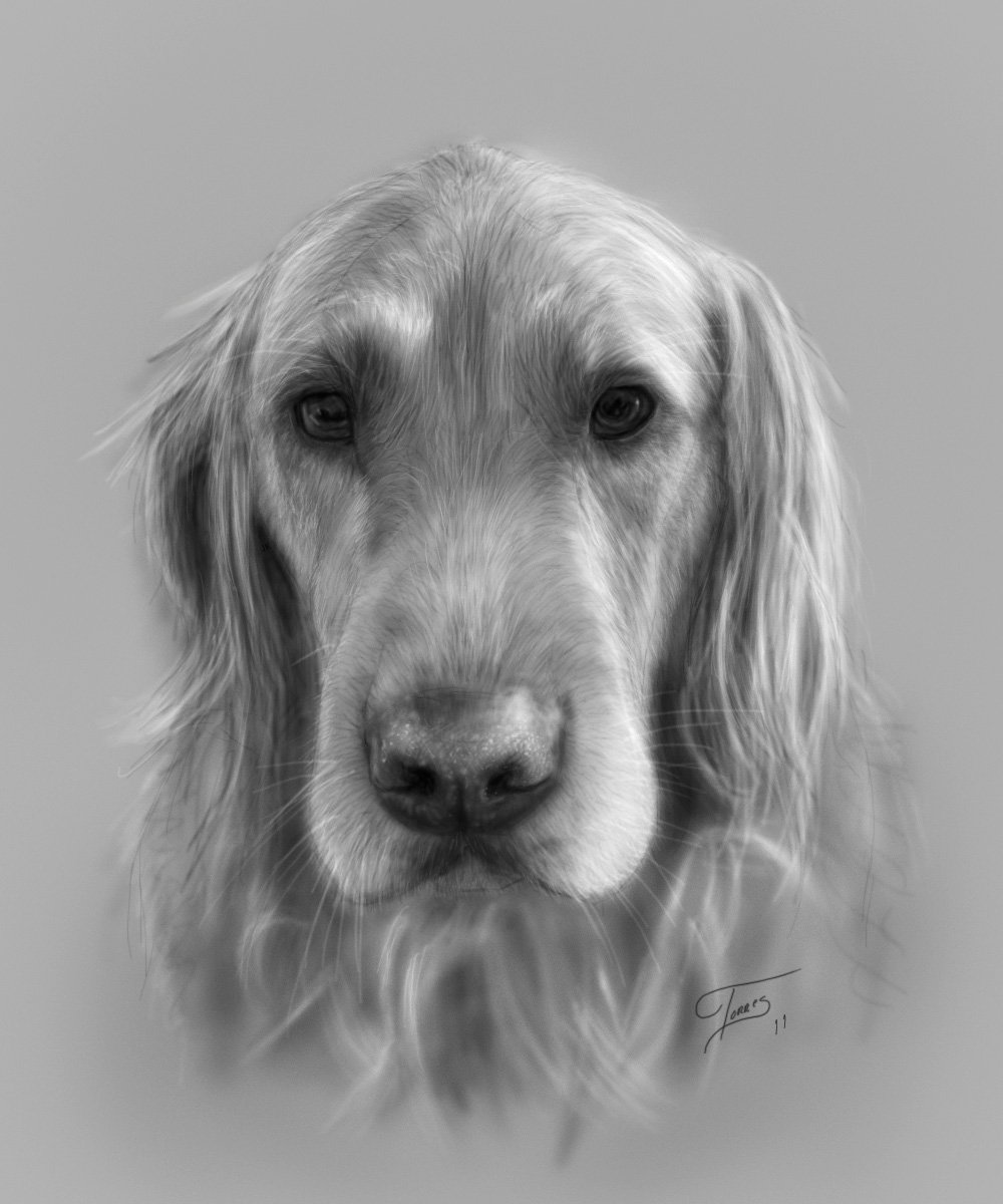 golden retriever drawing golden retriever pencil drawing at getdrawings free download drawing golden retriever