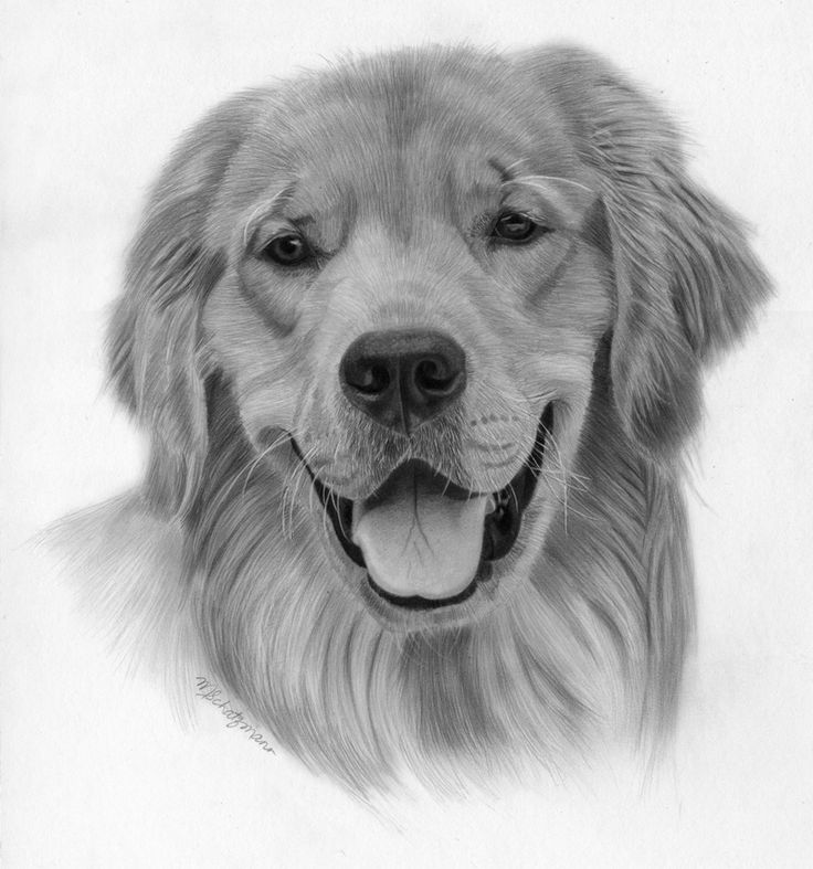 golden retriever drawing golden retriever puppy drawing drawing by john harding retriever drawing golden