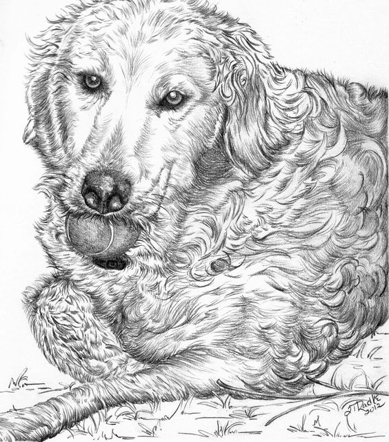 golden retriever drawing golden retriever sketch drawing by nicole zeug drawing retriever golden