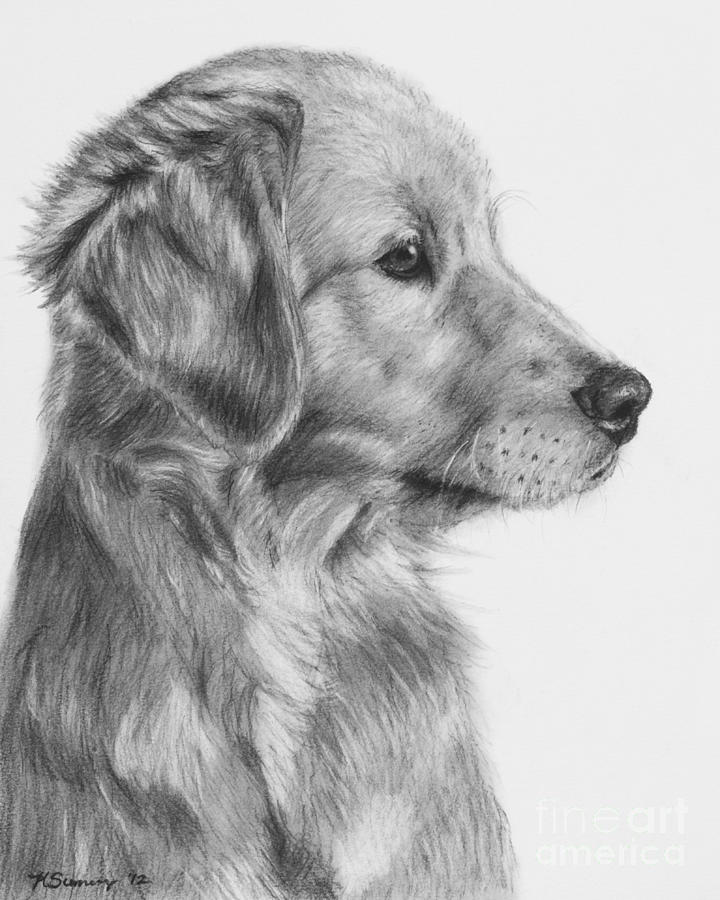 golden retriever drawing pet portrait pet drawing pet sketch golden retriever pet golden drawing retriever