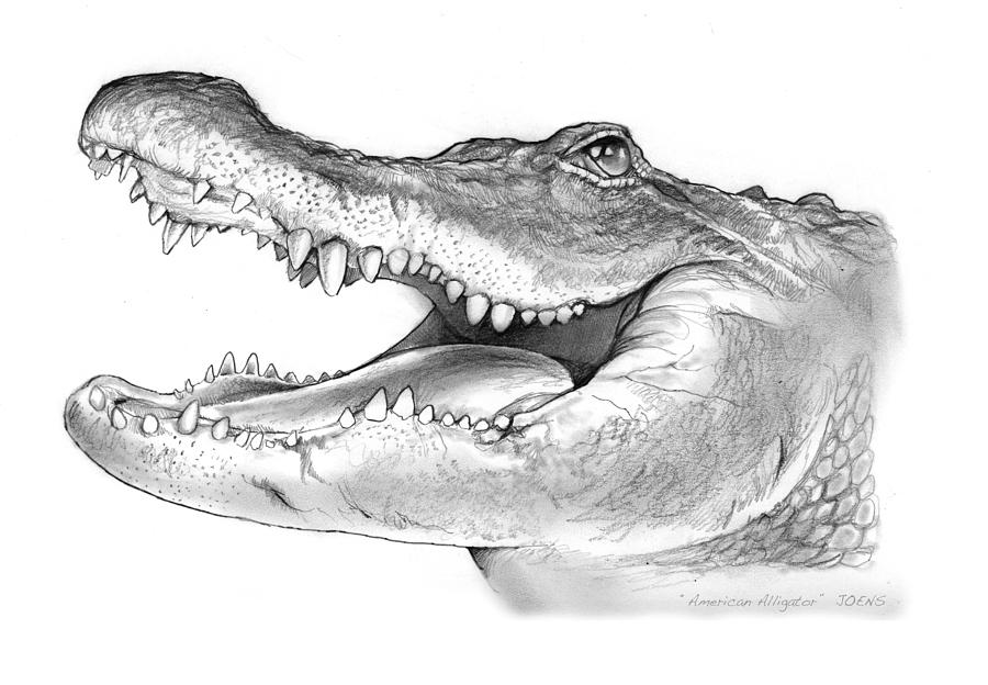 how to draw a alligator face american alligator drawing by greg joens face a alligator to how draw