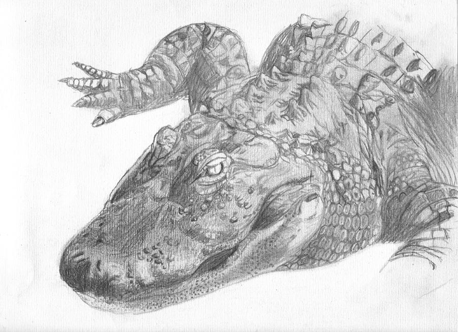 how to draw a alligator face original alligator pencll sketch drawing by shannon ivins alligator to draw a face how