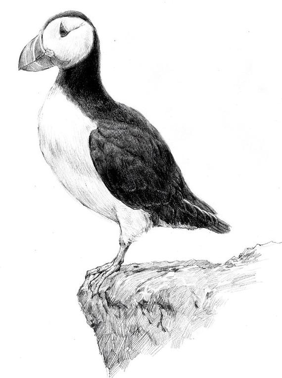 how to draw a puffin items similar to original drawing bird art puffin drawing how to a puffin draw