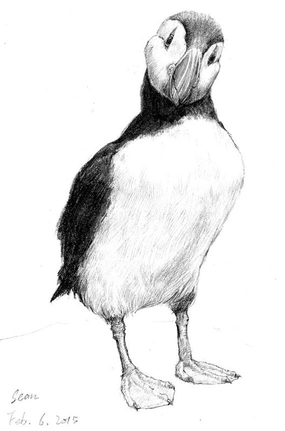 how to draw a puffin learn how to draw a puffin seabirds step by step to a how puffin draw