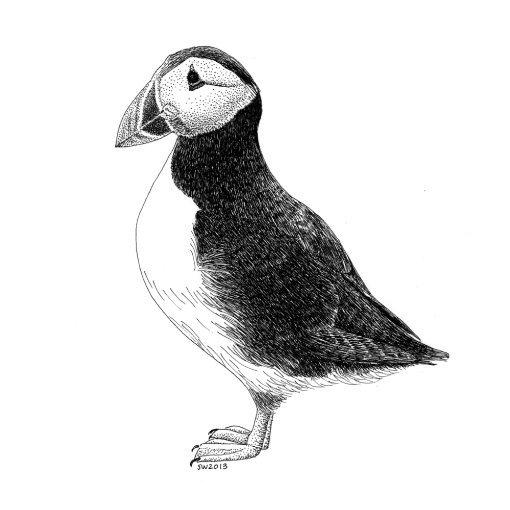 how to draw a puffin my quick pencilsketch pencilart pencildrawing bird to draw a puffin how