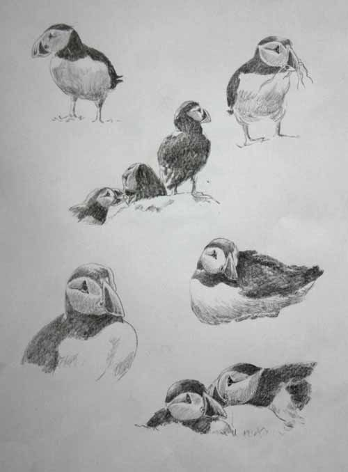 how to draw a puffin the best free puffin drawing images download from 95 free to a puffin draw how