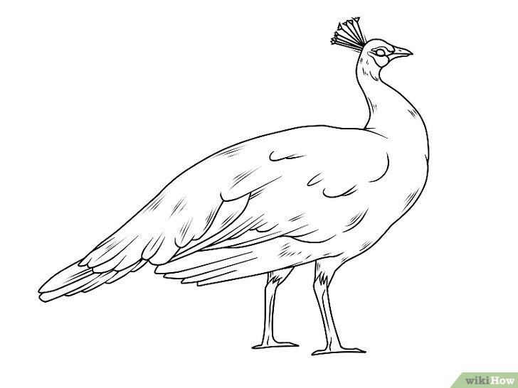 how to draw a realistic peacock step by step easy drawing of peacock at getdrawings free download to by a peacock realistic step step draw how