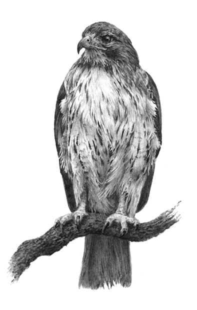 how to draw a red tailed hawk blog helene powers a to hawk tailed how red draw