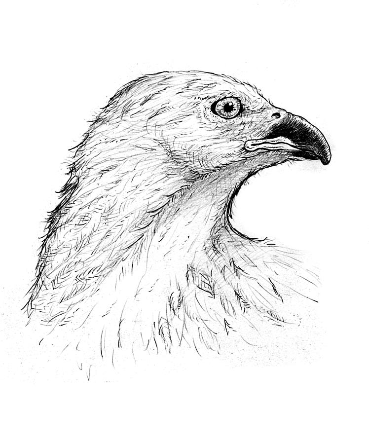 how to draw a red tailed hawk pin by carrie padgett on tattoo ideas in 2020 framed art hawk red a to draw tailed how