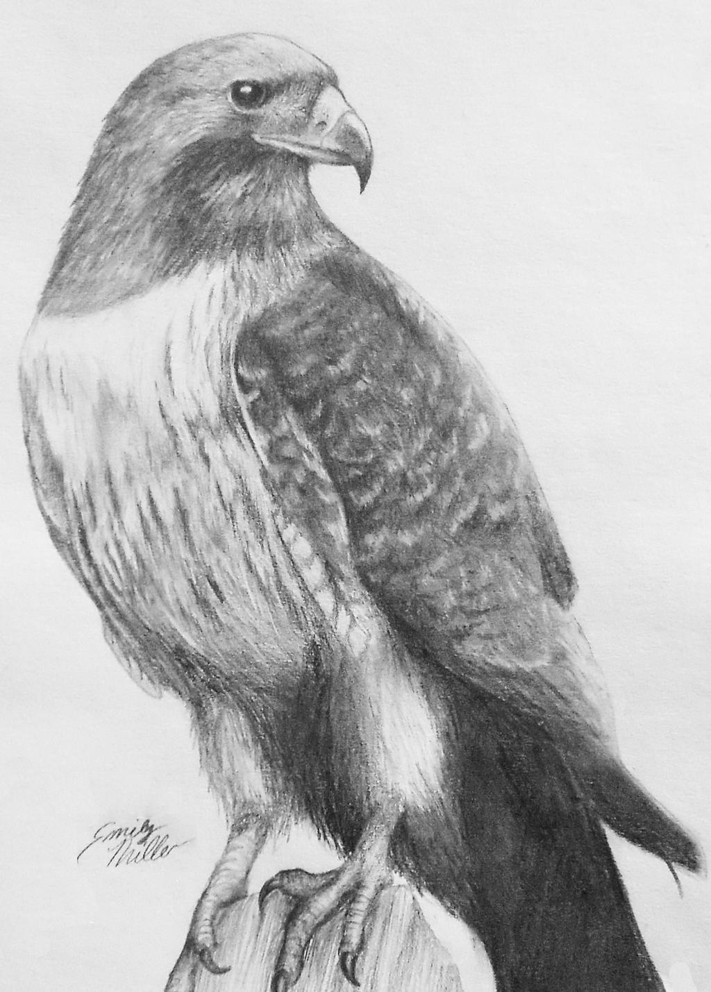 how to draw a red tailed hawk quotbig redquot red tailed hawk original ink drawing 6x6 a tailed hawk red draw to how