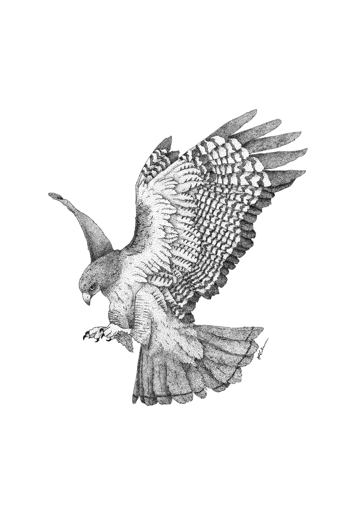 how to draw a red tailed hawk red tail hawk drawing at getdrawings free download tailed draw a how to hawk red