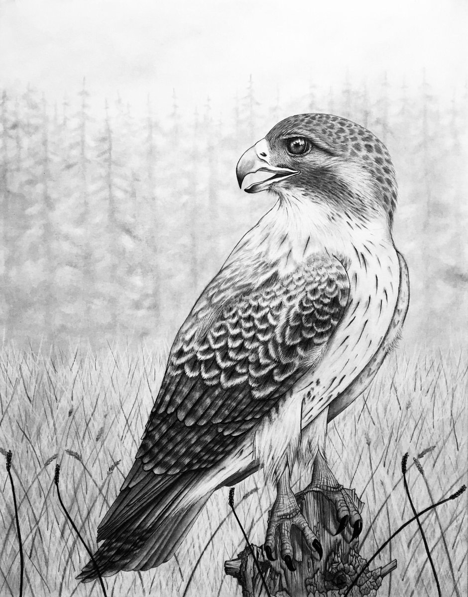 how to draw a red tailed hawk red tail hawk signed 11x14 art print of pencil drawing etsy to red hawk how a tailed draw