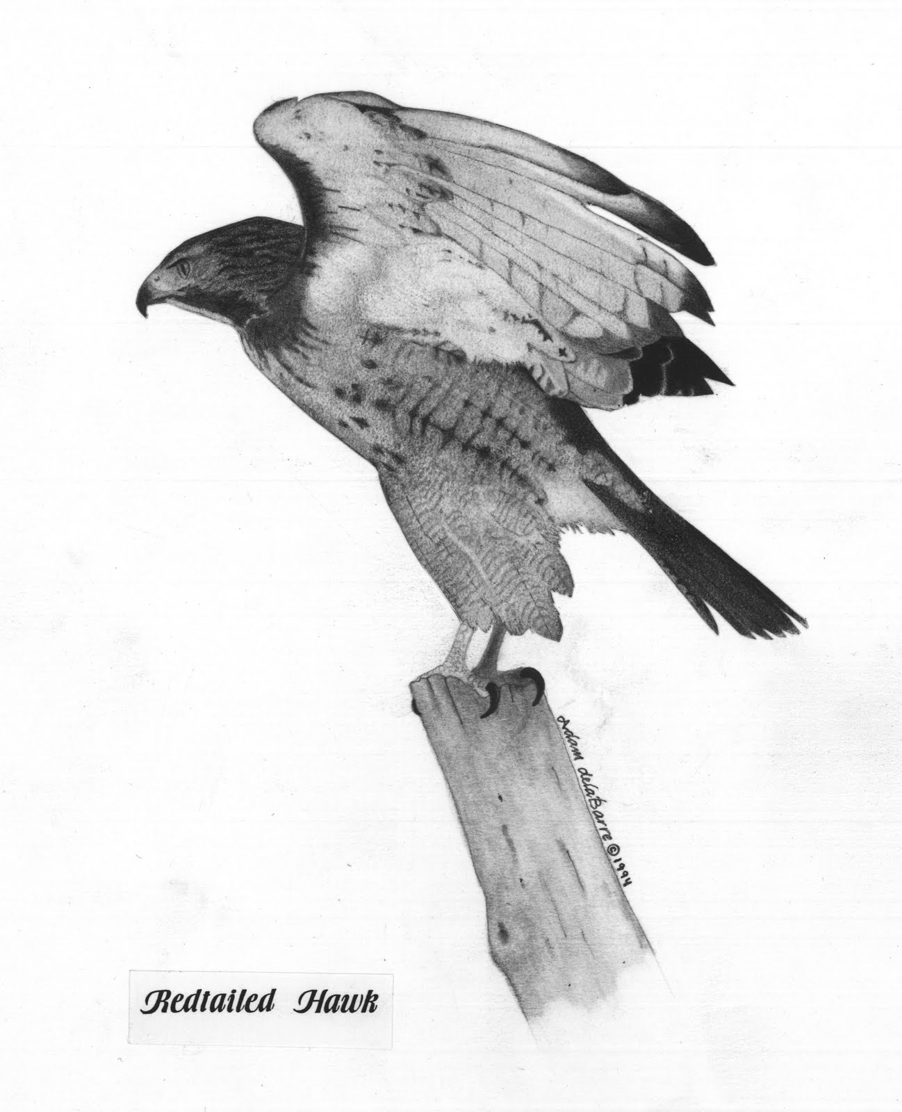 how to draw a red tailed hawk red tailed hawk by jbergasdeviantartcom on deviantart to draw hawk how tailed red a