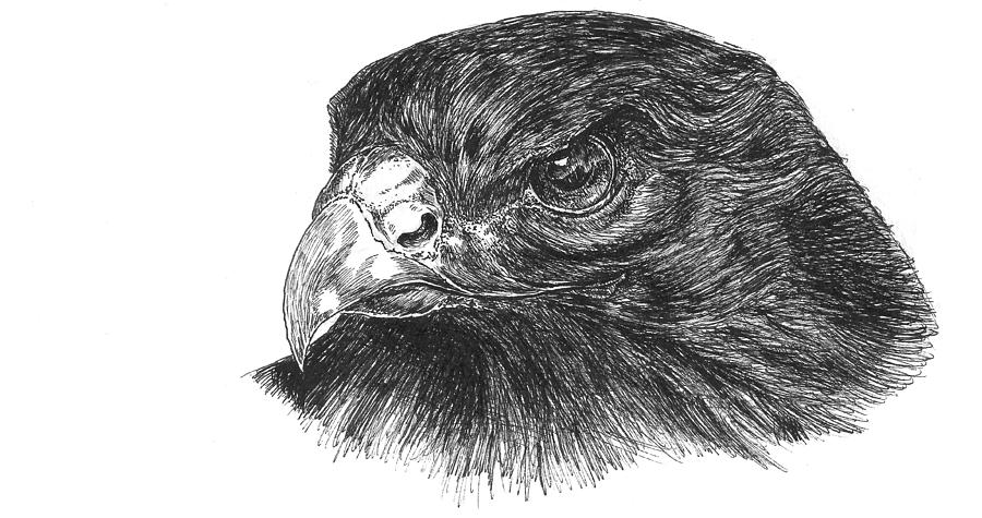 how to draw a red tailed hawk red tailed hawk coloring page birds of prey hawk coloring draw hawk to how tailed a red