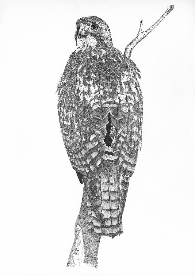 how to draw a red tailed hawk red tailed hawk drawing at paintingvalleycom explore to red draw tailed how hawk a