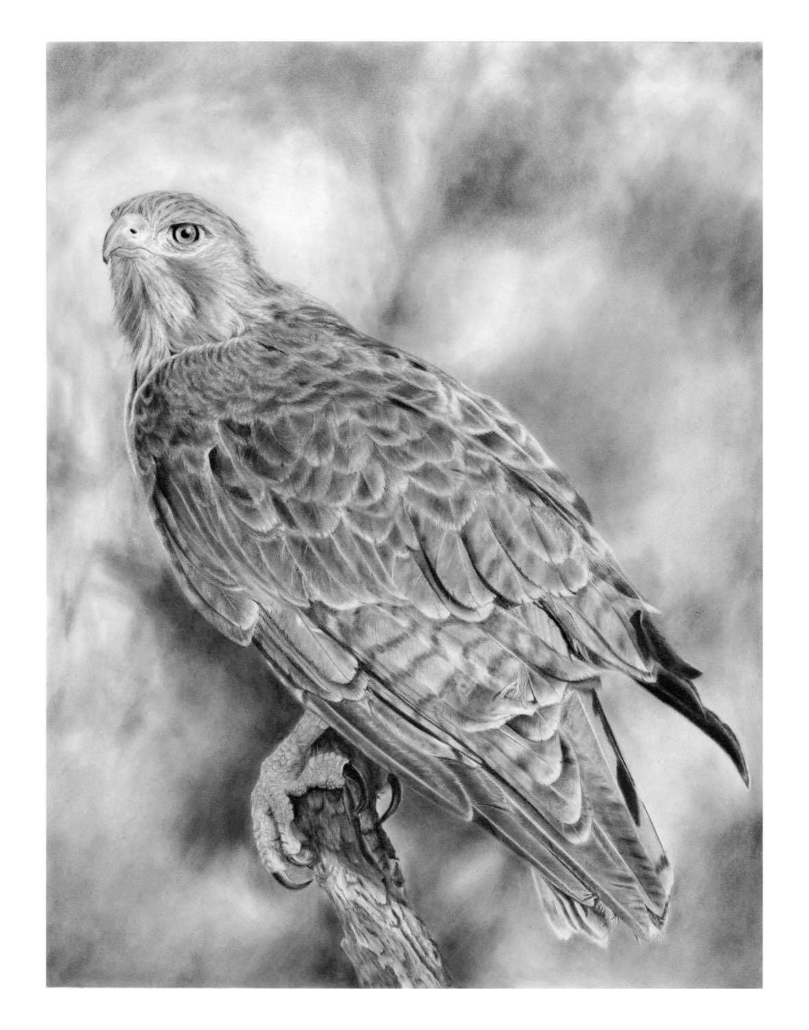 how to draw a red tailed hawk red tailed hawk drawing by carl genovese how draw a to red tailed hawk