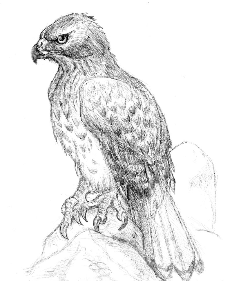 how to draw a red tailed hawk red tailed hawk drawing by cynthia lanka to tailed hawk draw how red a