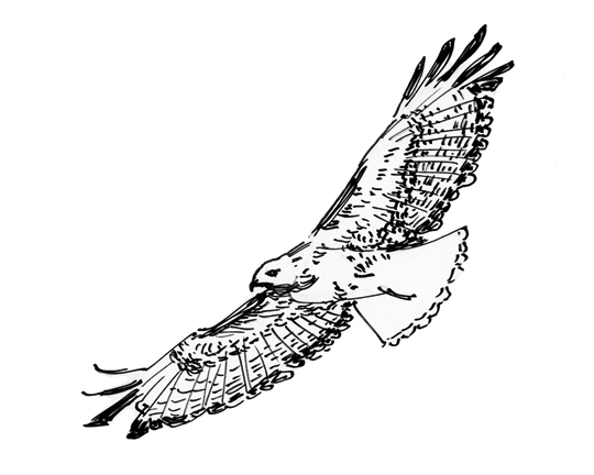 how to draw a red tailed hawk red tailed hawk drawing by pj scoggins red a how hawk tailed draw to