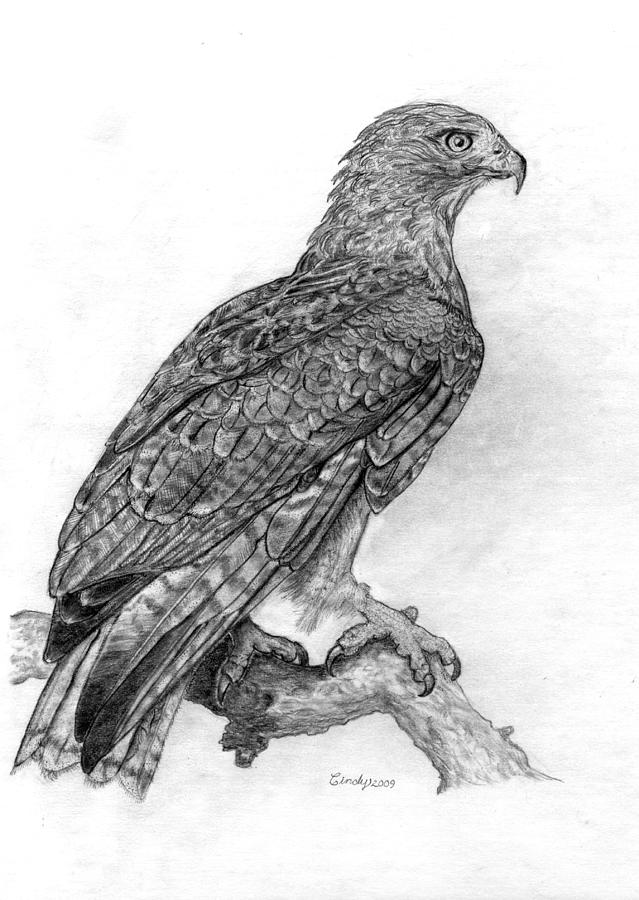 how to draw a red tailed hawk red tailed hawk pen ink nature drawing drawings a hawk red tailed how draw to