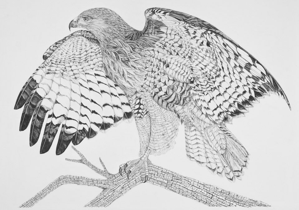 how to draw a red tailed hawk red tailed hawk study drawing by john disher tailed draw a hawk how red to