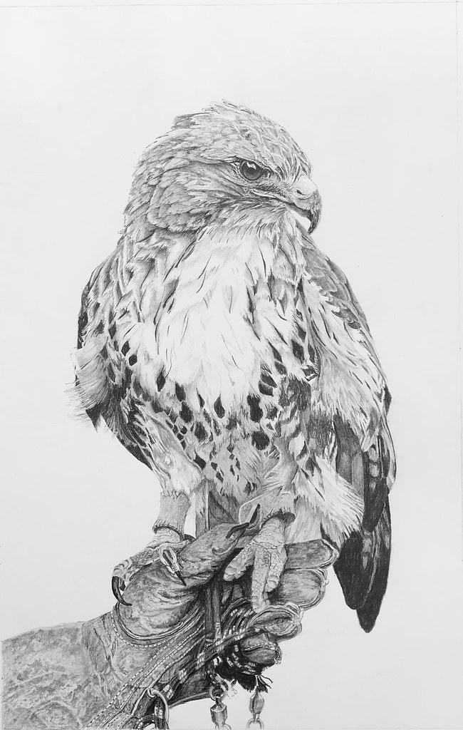 how to draw a red tailed hawk red tailed hawk with open wings carl brenders wildlife art hawk draw how a to red tailed